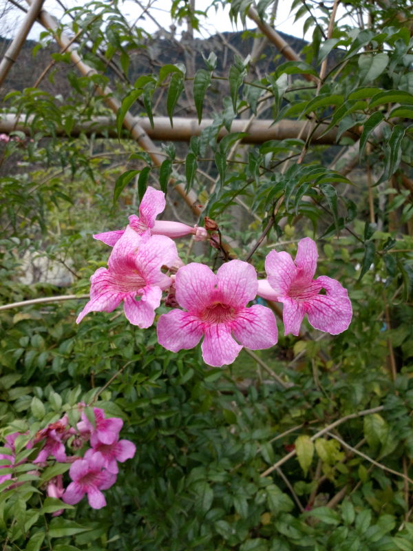 紫芸籐 Podranea ricasoliana,  Port St Johns Creeper, Port St Johns-klimop, Pink Trumpet Vine